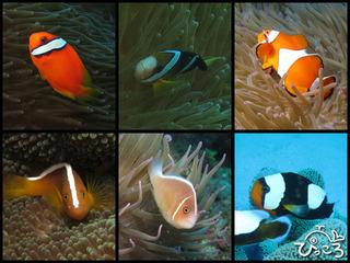 2012-11-11-クマノミ6種