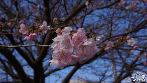 小室桜_DSC01677