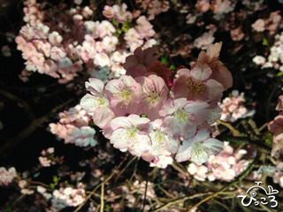 2013-3-2河津桜