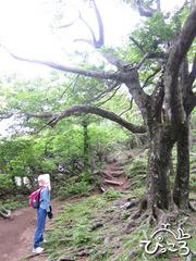 ブナの巨木に見とれるゲスト
