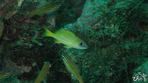 1027_ヨスジフエダイ幼魚