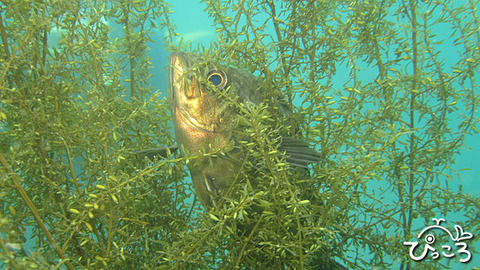 海藻のハンモック