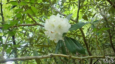 アマギシャクナゲ白花_P51403