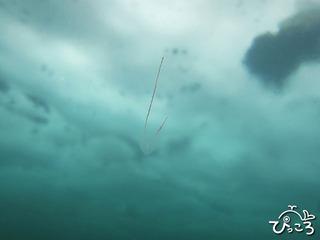 20130224トガリテマリクラゲ