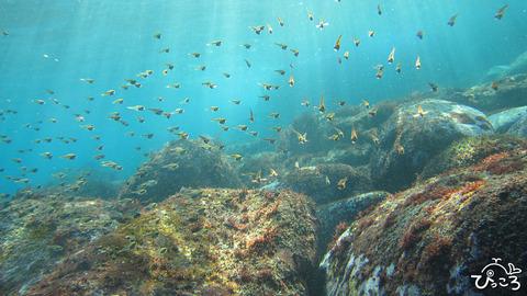 0102_ツマグロハタンポ幼魚