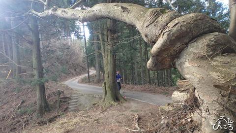 0117_ケヤキの大木