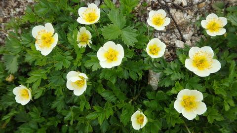 チングルマ花