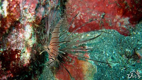 1025_ミノカサゴ幼魚