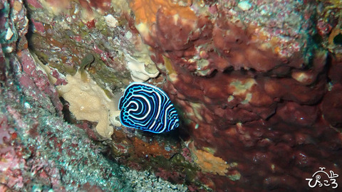 1026_タテキン幼魚