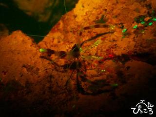 光るオトヒメエビ