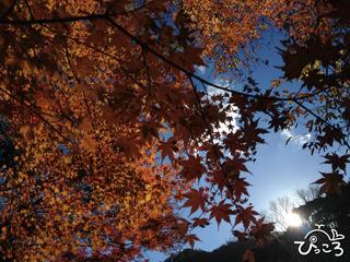 2012-12-11紅葉@河津