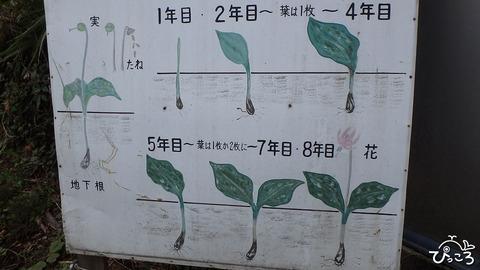 0331_カタクリの成長