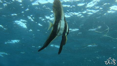 1021ミカヅキツバメウオ幼魚