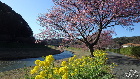 20200130_みなみの桜