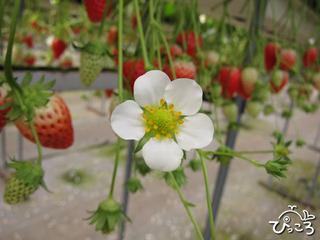 2013-2-3イチゴの花