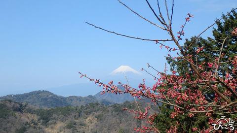 0312_桜と富士山