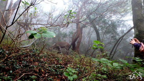 登山道でも鹿