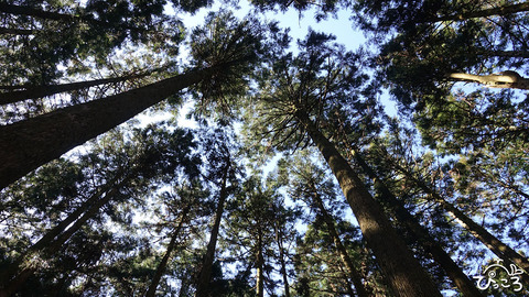 200223_真っ直ぐな杉