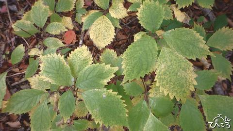 1015_コアジサイの葉