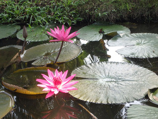 美しい蓮の花
