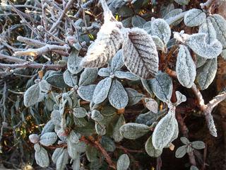 凍る葉っぱ