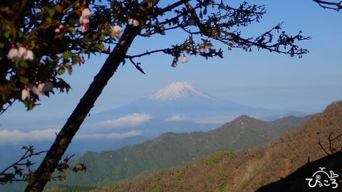 20190517_マメザクラと富士山
