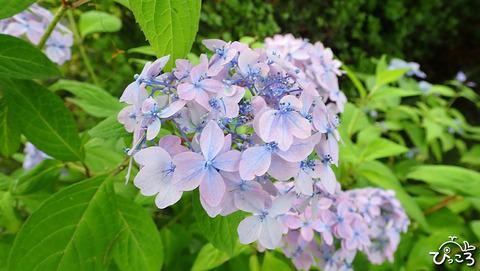 いろんな紫陽花_4