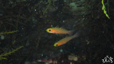 チャガラの幼魚
