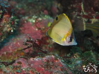 シラコダイ幼魚