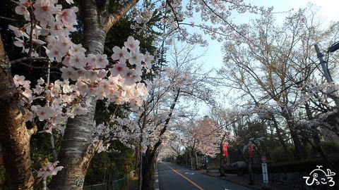 0327_桜並木