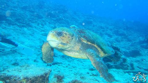 ニューカレ:アカウミガメ