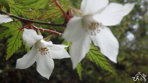 0422_モミジイチゴの花