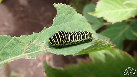 0624_キアゲハ幼虫