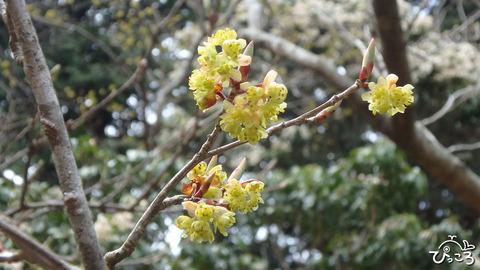 0406_アブラチャンの花