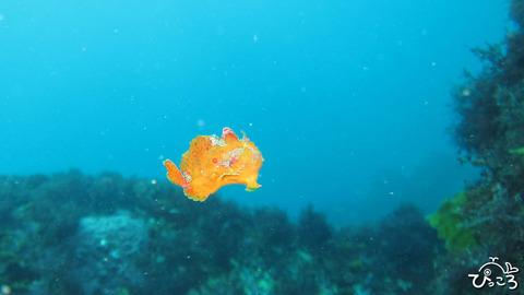 0906_泳ぐカエルアンコウ