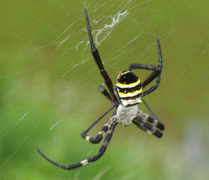 ★気侭に。。。春夏秋冬★:黄金蜘蛛・・ - livedoor Blog(ブログ)