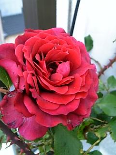 薔?薇が咲いたぁ♪
