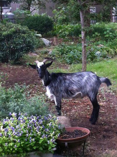 山羊2012