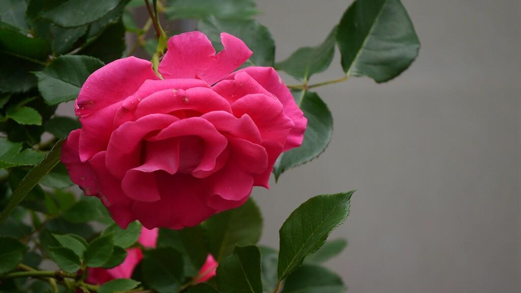 桃の絵日記  5月25日 くもりコメント