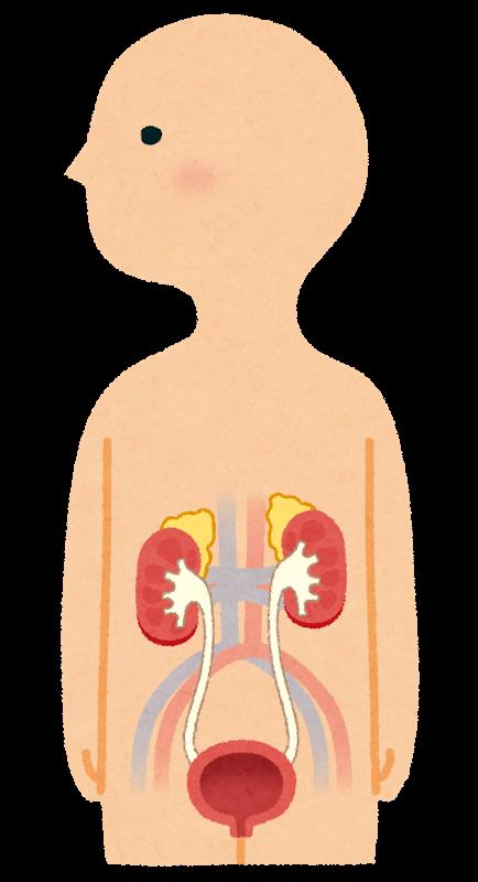 【健康カプセル!ゲンキの時間】夏の疲れの原因は腎臓かも?腎臓とは?いたわる方法は?
