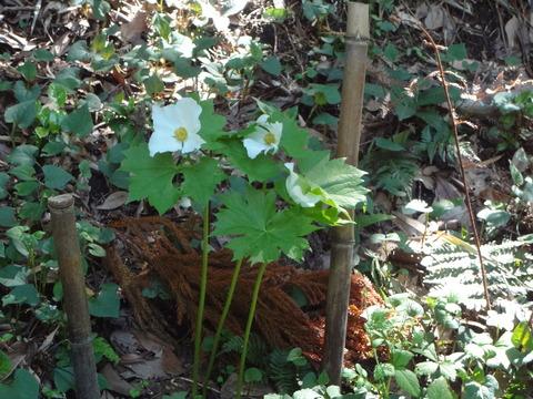 4月22日シラネアオイ白花
