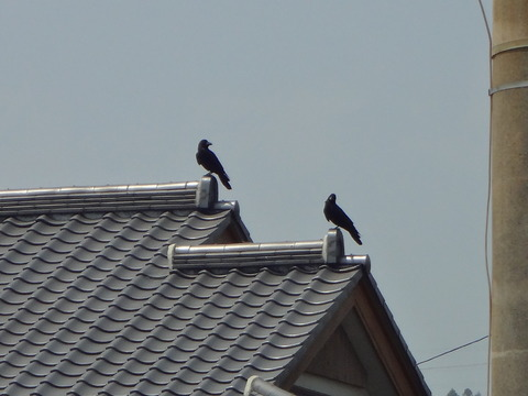 屋根のカラス2