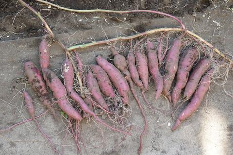 斜め植えの芋