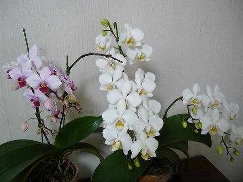 6月に咲いた胡蝶蘭