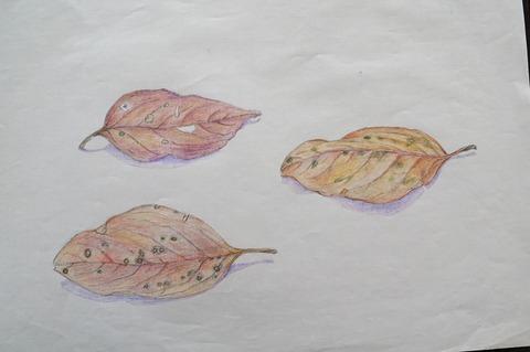柿の落ち葉1
