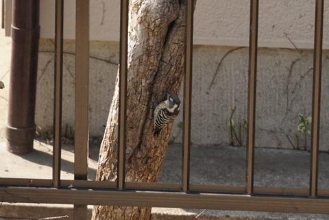 木の足元のコゲラ