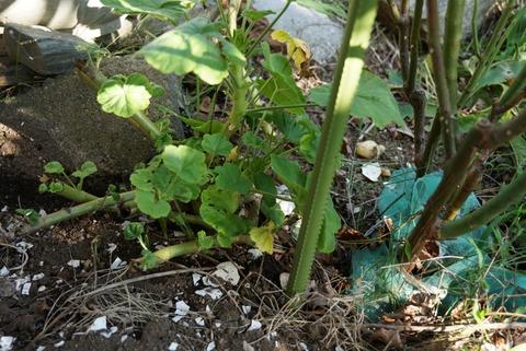 バラの根元に根着いた大型種のゼラニウム