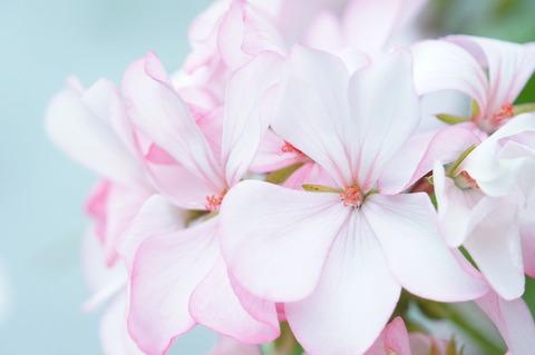 ゼラニウム白花