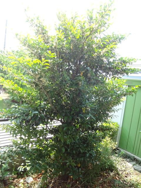 サカキの木