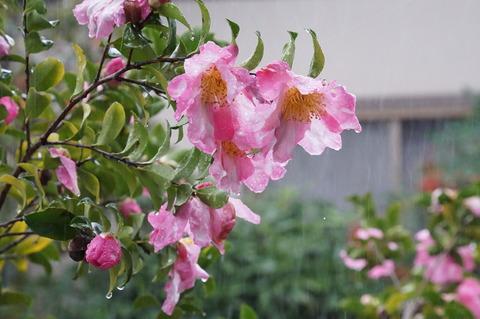 雨の日の山茶花